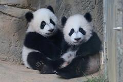 Ya Lun and Xi Lun (smileybears) Tags: zooatlanta panda pandacub pandatwins giantpanda bear yalun xilun