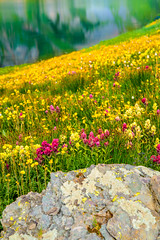 Standouts in a Sea of Yellow (William Horton Photography) Tags: alpineavens alpinepaintbrush clearlake clearlakeroad fs815 peak13309 queenscrown rockymountains rosecrown sanjuanmountains hanginglakes mountainlake wildflowersbistort