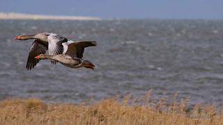 Graugänse (Anser anser) im Flug am Wattenmeer