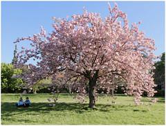 La vie devant soi ... (michelle@c) Tags: springtime garden cherrytree flower blossom girl boy sit grass reference emileajar romaingary arboretum chatenaymalabry 2017 michellecourteau