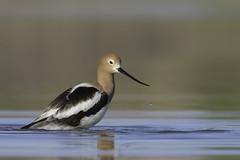 Elegant (Amy Hudechek Photography) Tags: avocet water drop spring migration shorebird colorado bird amyhudechek