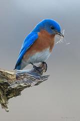 Think I'll build me a nest.. (Earl Reinink) Tags: bird animal nature earlreinink nikon blud bluebird easternbluebird nesting doddhdhdia