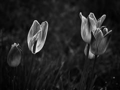 Tulip (Marcelo Garcia Ferreyra) Tags: tulips garden green nature gualadajara spain translucid d7000