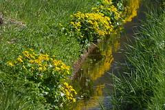 Kingcups - Dotterbloemen (joeke pieters) Tags: 1330970 panasonicdmcfz150 dotterbloem marshmarigold kingcup sumpldotterblume bloem flower reflections geel yellow groen green