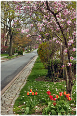 Spring of 2017 (Alexxir) Tags: ditmaspark spring 2017 cherryblossom sakura cherryblossomfestivalnyc2017 sakuramatsuricherryblossomfestivalinbrooklyn nyc newyork newyorkcity flowers redflowers yellowflowers bloom blooming 2017magnoliablossomfestival brooklynmagnolia magnolias pinkflowers trees streets brooklynflowers brooklynditmasparkflowers whiteflowers bushes rosebushes dandelions alleys perspectives birds victorianhouses homes vintage flowervase vases cosyhomes subway subwaycars quietandpeaceful serene relaxing dreamy desolate contrast park garden vegetation colors colorful colorexplosion beautiful beauty incredible mesmerizing enveloping pinksnow buds beautifulhouses untouched nature mothernature pavement sidewalk doors entrance bedroom sleeping sleepy sunny bright inthemiddleofbrooklyn