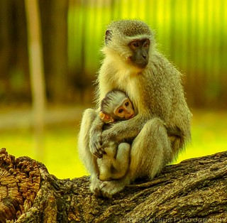 Mother's Instinct (Vervet Monkey mother & child)