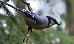 Blue Jay Way. (ebeckes) Tags: bluejay corvid jay nikond810 nikkor200500lens