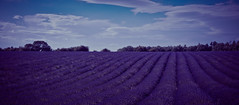Lonely Lavender (spiderstreaky) Tags: plant clear england beautiful pollen texture vivid light delicate purple countryside cotswold colourful high colour natural walking blue d7100 hillside sun nikon horizon farm british delightful sky fields field sunshine flower lavender bright rolling cotswolds classic flowers landscape shadow hill lightroom detail nature season plants passion big beauty lines farming line wildlife fresh roll clouds