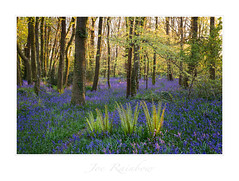 """Three Brothers"" - Cornwall (Joe Rainbow) Tags: canon joerainbow bluebells cornwall landcape natural nature outdoors spring trees woodland woods"