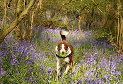 16/52 The Bluebell Woods (meg price) Tags: 52weeksfordogs flynn bordercollie dog spring nature bluebells woodland uk