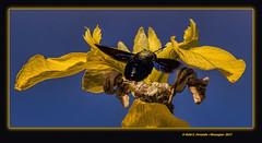 Borinot negre o abella fustera en lliri groc o espadella (Xylocopa violacea, iris pseudacorus) El Perelló, la Ribera Baixa, València, Spain) (Rafel Ferrandis) Tags: llirigroc borinot insecte flor eos7dmkii sigma150600contemporary