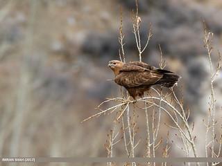Long-legged Buzzard (Buteo rufinus)