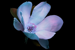 Chinese Magnolia 3 (C. Burrows) Tags: uvivf flower glowing surreal magnolia