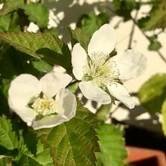 Blackberry Flowers (Assaf Shtilman) Tags: blackberry flowers white closeup