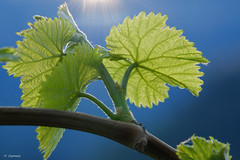 New Life (H. Eisenreich) Tags: eisenreich hans fujifilm xt1 blatt sky himmel leave rays new wine vino grün jung wein green strahlen weinblatt backlight spring frühling