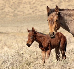 Welcome to the World (chad.hanson) Tags: wyoming wildhorses wildlife northlandercomplex mustangs