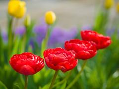 Quartet (Karsten Gieselmann) Tags: 75mmf18 blumen blüten bokeh dof em5markii farbe frühling gelb grün jahreszeiten lila mzuiko microfourthirds natur olympus pflanzen private rot schärfentiefe tulpe blossom color flower green kgiesel m43 mft nature purple red seasons spring tulip violett yellow