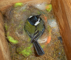 Great Tit on eggs (Durley Beachbum) Tags: 117picturesin201733 bird greattit nestbox brooding april bournemouth