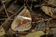 Thauria lathyi (Hiro Takenouchi) Tags: amathusiini morphinae papillon wildlife nature insect butterflies butterfly thailand nymphalidae nymphalid
