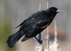 Red-winged blackbird (Crunch53) Tags: redwinged blackbird bird birds nature park michigan outdoors