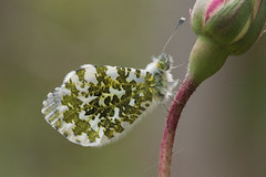 Female Orange-Tip roosting (explored) (Anne Richardson) Tags: spring macro orangetip orange butterfly insect summer wildlife nature garden explored photography sigma canon 7dmkii
