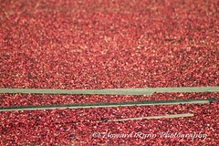 Whitesbog Cranberry Harvest  (111) (Framemaker 2014) Tags: whitesbog cranberry harvest burlington county chatsworth new jersey pinelands pine barrons southern united states america