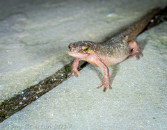 Photo of Smooth Newt.