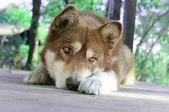 IMG_9428(7) (M.Aurelie) Tags: sibérienne husky