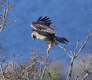 Buzzard landing on a treetop