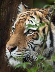 amurtiger Angara Amersfoort BB2A0282 (j.a.kok) Tags: tijger tiger amurtiger amoertijger pantheratigrisaltaica amersfoort asia azie kat cat mammal zoogdier animal dier predator