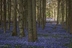 ltr-5282-2 (KazzT2012) Tags: canoneos70d chilterns flowers trees bluebells blue ashridgeestate wood dockywood thechilterns