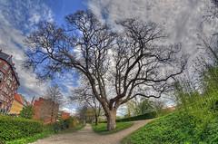 My favorit tree (KonHenrik) Tags: danmark denmark københavn copenhagen christianshavn hdr d7100 samyang8mm 2017 christianshavnsvold tree