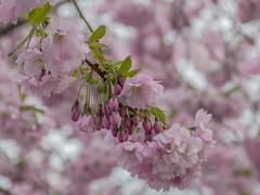 Cherry blossom in Kungsträdgården, Stockholm (PriscillaBurcher) Tags: prunusaccolade sakura cherryblossom kungsträdgården stockholm l1290247