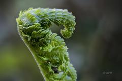 Unrolling Fern (hph46) Tags: pfanze farn fern grün panasonic lumixg70 mft makro