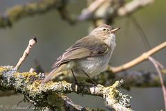 Chiffchaff (Dougie Edmond) Tags: birds nature avian wildlife ayrshire spring visitors