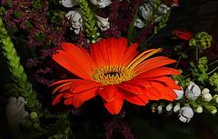 Scarlet Gerbera (abrideu) Tags: abrideu panasonicdmctz20 flower flowers gerbera scarlet bokeh bright macro indoor plant red ngc