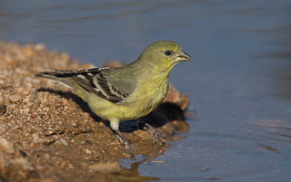 Lesser Goldfinch F Elephant head pond az