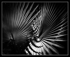 Close Combat (explored 2017/04/28) (toletoletole (www.levold.de/photosphere)) Tags: fujixt2 marokko zagora morocco bw abstract blätter sw leaves pallm abstrakt palmen