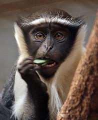rolowaymonkey Duisburg BB2A0832 (j.a.kok) Tags: monkey duisburg mammal aap rolowaymonkey rolowaymeerkat meerkat zoogdier dier afrika africa