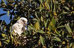 DSC_0259 Corella with leaves (Rodolfo Frino) Tags: corella bird animal fauna nature natura natural naturaleza white green spring tree
