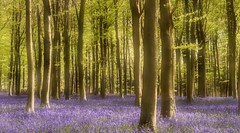 Bluebells (hall1705) Tags: bluebell angmering landacape westsussex woods spring trees d3200 nature flowers