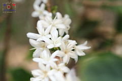 Coffee (~小乖~ Y.C.CHEN) Tags: flower plant white green light beautiful bokeh canon color nature