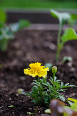 Marigold and greens (kightp) Tags: 2017 nikon blueandpurple d7000 flowers garden homegarden macro spring
