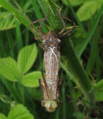Downy Emerald - Cordulia aenea (Camerar) Tags: dragon dragonfly odonata downyemerald corduliaaenea