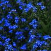 blue (Darek Drapala) Tags: flowers blue plants plant flower color green nature gardens garden lumix spring panasonic botanic g2 botanicgarden panasonicg2 flowerthequietbeauty