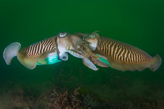 UK Underwater -14.jpg (Saeed Rashid) Tags: uk england green 1 underwater scuba diving devon pairs mating british cuttlefish coldwater babbacombe cuttle saeedfocusvisualscom saeedrashid wwwfocusvisualscom