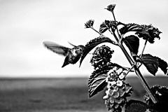 Aura (Christinalanee) Tags: flowers summer blackandwhite flower art birds photography photo spring hummingbird photos joy