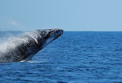 whale (photobugjb) Tags: animals hawaii wildlife maui whales