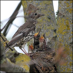 Mistle Thrush feeding young (catb -) Tags: ireland dublin bird nest feeding thrush mistlethrush turdusviscivorus
