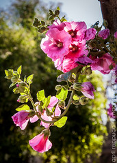 Trumpet in the Sky (Images by April) Tags: pink canon vine pinkflower 5d backlighting markii pinktrumpetvine pinktrumpet